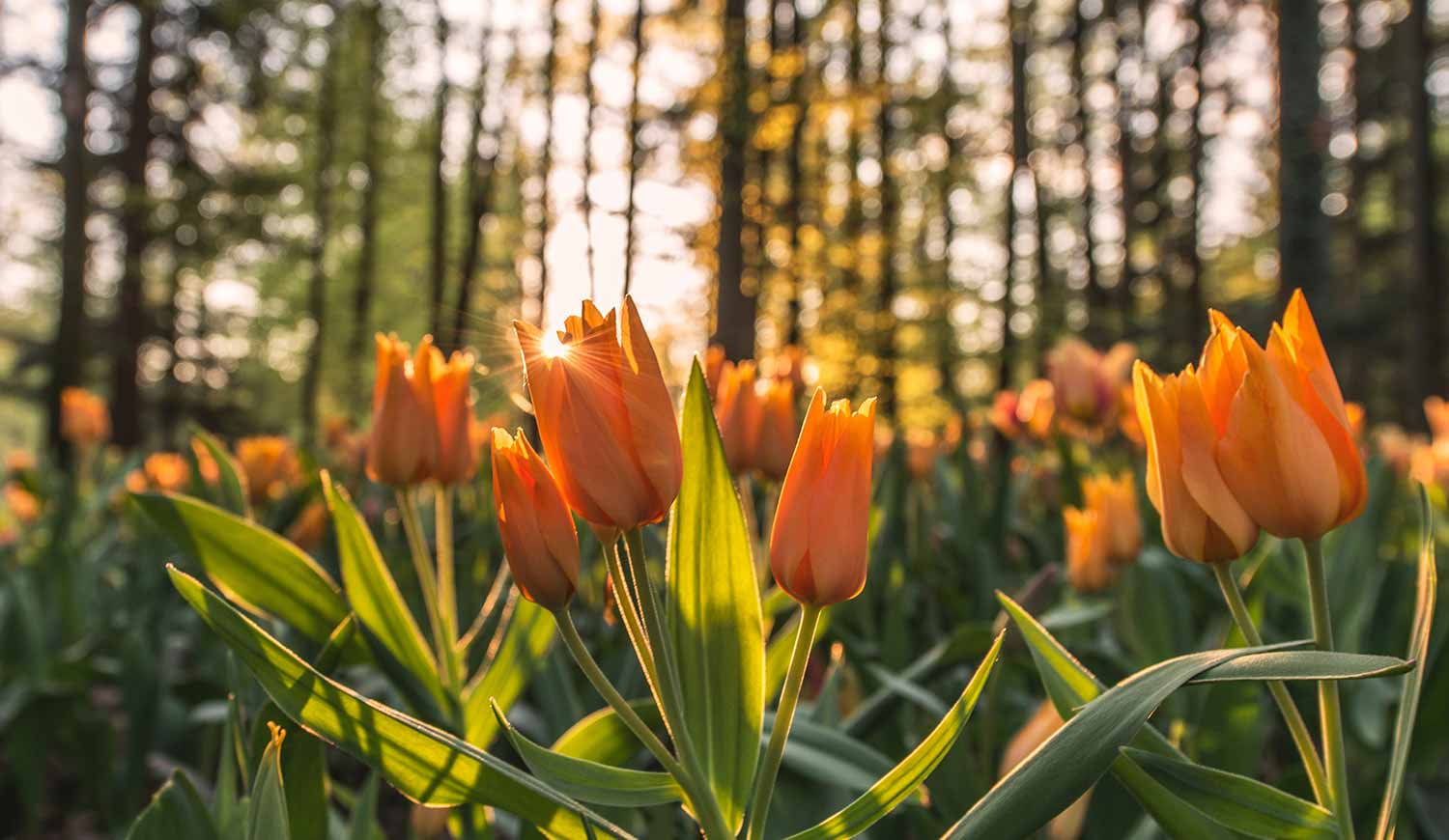 Tulips growing in sunlight